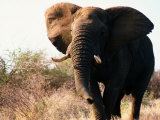 Charging African Elephant Photographic Print by Nicole Duplaix