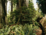 Redwood Grove with Ferns Photographic Print by Medford Taylor