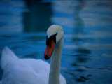 A Close View of a Mute Swan Photographic Print by Medford Taylor