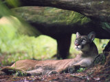 A Florida panther Impresso fotogrfica por Melissa Farlow