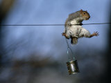 An Eastern Gray Squirrel in Midair Photographic Print by Chris Johns