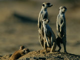 Suricates Stand Alert to Danger with Their Young at Their Feet Photographic Print by Chris Johns