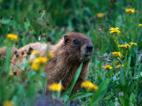 Marmot, CO Photographic Print by Sherwood Hoffman