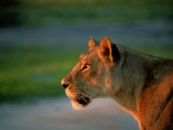 A Lioness Attentively Watching a Herd of Zebras Photographic Print by Beverly Joubert