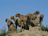 A Group of African Cheetahs Scan Their Territory for Predators and Prey Photographic Print by Chris Johns