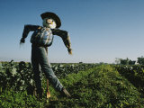A Smiling Scarecrow Stands Guard over Pumpkin Fields Photographic Print by Stephen St. John