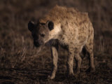 Spotted Hyena, Crocuta Crocuta Photographic Print by D. Robert Franz