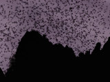A Cloud of Bats Fills the Twilight Sky over Sarawak Photographic Print by Mattias Klum