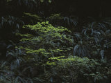 Ferns Growing in the Olympic Peninsulas Temperate Rain Forest Photographic Print by Sam Abell