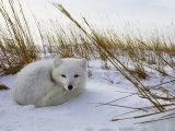 Norbert Rosing - An Arctic Fox Curls up in the Snow for a Nap - Fotografik Baskı