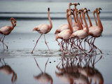 Flamingos Photographic Print by Sam Abell