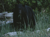 A Close View of a Black Bear Standing in Tall Grasses Near a Log Photographic Print by Joel Sartore