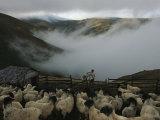 A Shepherd Tends His Flock in the Mountain Summer Pastures Fotoprint van Randy Olson
