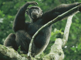 A Male Chimpanzee Dubbed Cole Lounges in the Branches of a Tree Photographic Print by Michael Nichols