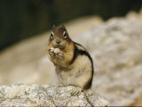 Close View of a Chipmunk Fotografisk tryk af W. E. Garrett
