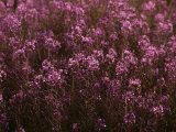 Pink Wildflowers Photographic Print by Mattias Klum
