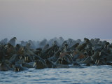 A Group of Walruses, Odobenus Rosmarus, Seek Safety in Numbers Photographic Print by Norbert Rosing