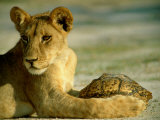 A Young Lion Holding a Leopard Tortoise Photographic Print by Beverly Joubert