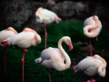 A Group of Flamingos Resting Upon One Foot Photographic Print by Joel Sartore