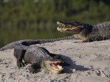 American Alligators in a Breeding Pond Photographic Print by Raymond Gehman