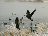 Canada Geese Land on the Water Photographic Print by W. E. Garrett