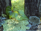 A Cinnamon Vine and Foliose Lichen Growing on a Wooden Fence Photographic Print by George F. Mobley
