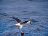 Black-Browed Albatross Fly-Walks over Ocean Surface Photographic Print by Jason Edwards