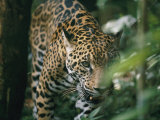 A Captive Leopard Stalks Through the Dark Brush Photographic Print by Skip Brown