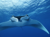 A Pair of Remoras Hitch a Ride on a Manta Ray, Manta Birostris Photographic Print by Brian J. Skerry