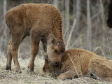 A Wood Buffalo Calf Nuzzles its Twin Photographic Print by Paul Nicklen