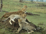A Cheetah and Her Cubs Rest on a Dirt Mound Photographic Print by Norbert Rosing