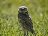 Burrowing Owl Photographic Print by Robert Madden