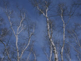 Leaf-Less Birch Trees Stretch Towards a Blue Winter Sky Photographic Print by Roy Gumpel