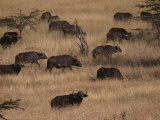 A Herd of Cape Buffalo Grazes on a Savanna Photographic Print by Jodi Cobb