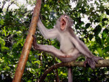 Long-Tailed Macaque (Macaca Fascicularis) Photographic Print by Mattias Klum