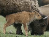 American Bison Calf Stands Next to Mother Photographic Print by Norbert Rosing