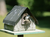 A Tree Swallow Perched at the Door of a Birdhouse Photographic Print by Taylor S. Kennedy