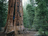 A Climber Scales the Trunk of a Sequoia Tree Photographic Print by Bill Hatcher