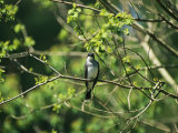 A Tree Swallow Perched on a Tree Branch with New Spring Foliage Photographic Print by Raymond Gehman