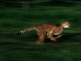 A Cheetah Named Kenya Runs at the Home of its Trainer Photographic Print by Michael Nichols