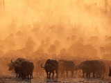 A Herd of Cape Buffalo Create a Dust Cloud Photographic Print by Beverly Joubert