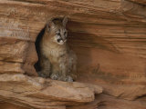 A Young Mountain Lion Rests in a Rocky Niche Photographic Print by Norbert Rosing