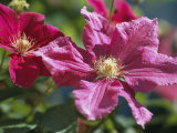 Close View of Clematis Flowers Photographic Print by Darlyne A. Murawski