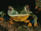 Close View of a Tree Frog Photographic Print by Tim Laman
