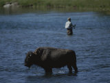 A Fisherman and Buffalo Share Water Space in the Yellowstone River Photographic Print by Raymond Gehman