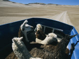 Llamas and Alpacas Ride in Style Across Perus High Desert Plain Photographic Print by Maria Stenzel