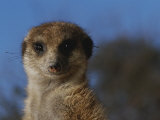 A Close View of a Meerkat (Suricata Suricatta) Photographic Print by Mattias Klum