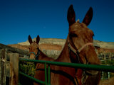 Mules on a Farm Photographic Print by Scott Sroka