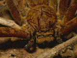 A Close View of a Large Huntsman Spider, Heteropoda Species Photographic Print by Tim Laman