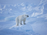 A Polar Bear in a Landscape of Rough Ice Photographic Print by Paul Nicklen